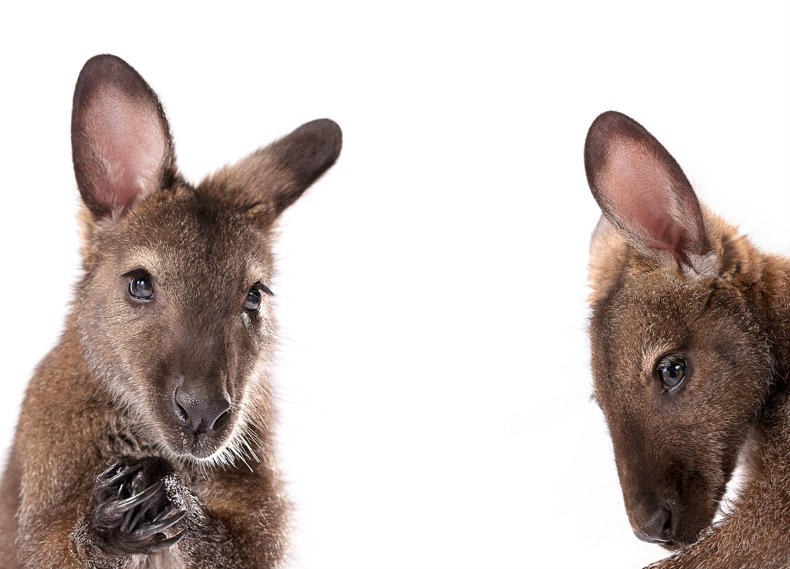 wallaby pair.jpg